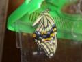 美しいキアゲハに脱皮しました。図鑑の写真みたい。子どもたちが蝶をこんなに近くでじーっと見れて良かったです。